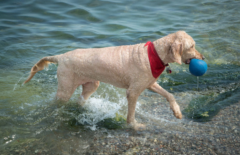 Animal Themes Ball Beach Day Dog Domestic Animals Full Length Goldendoodle Lake Mammal Nature No People One Animal Outdoors Pet Collar Pets Playing Red Scarf Water Waterfront Wet Dog Pet Portraits Food Stories