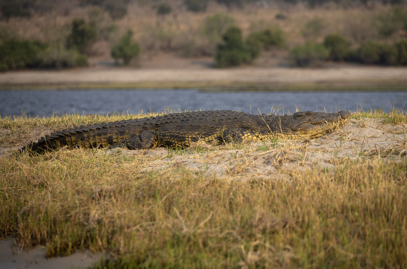 View of a crocodile on riverbank