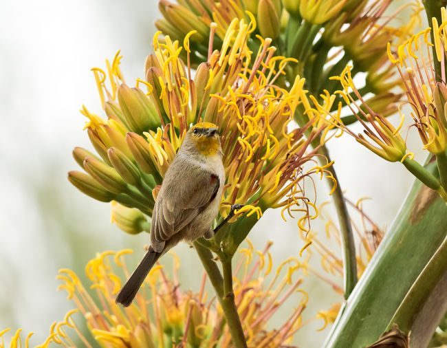 A male Verdin feeding on flowers at a Phoenix Botanical garden in Arizona. Arizona Animal Beauty In Nature Bird Close-up Flower Flowering Plant Nature No People Plant Verdin