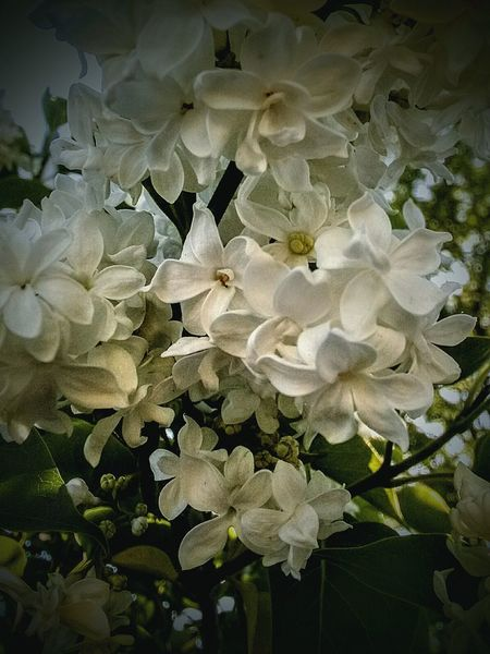 Flower Petal Fragility Close-up No People Flower Head Plant Growth Nature Beauty In Nature Freshness Day Outdoors White Lilac