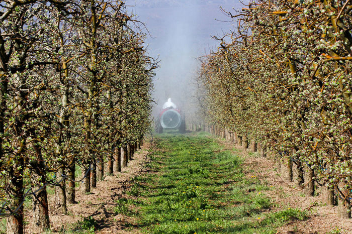 spraying apple orchard in spring Agriculture Apple Orchard Apple Tree Farmer Gas Mask Pesticides Pollution Row Spraying Spring Springtime Tractor