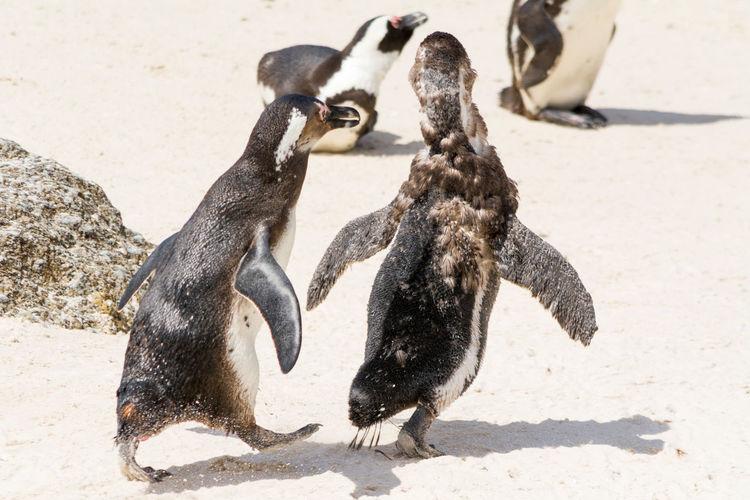 Close-up of penguins at beach