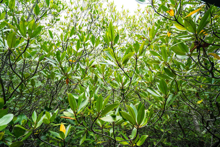 The beautiful leaves of tree in Intertidal forest. Beauty In Nature Close-up Day Forest Freshness Green Color Growth Intertidal Leaf Leaves Low Angle View Mangrove Forest Nature No People Outdoors Plant Sky Thailand Tranquility Tree