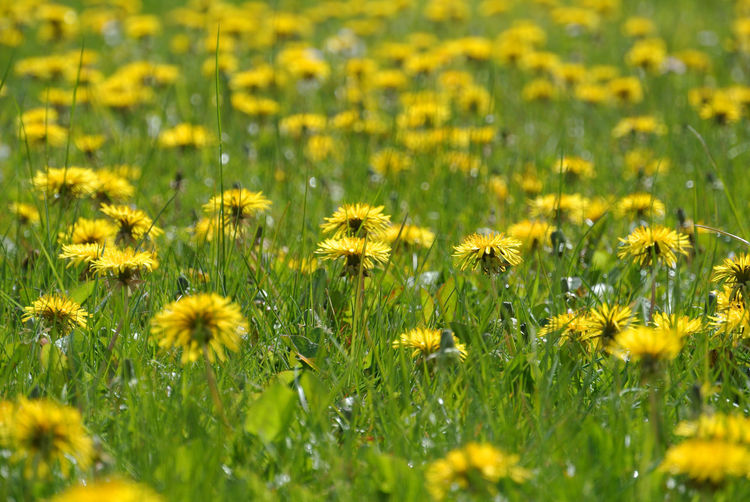 Dandelions Grass Green Flower Out In The Sun Outdoors Summer Meadow Wild Flowers Yellow Yellow Flowers
