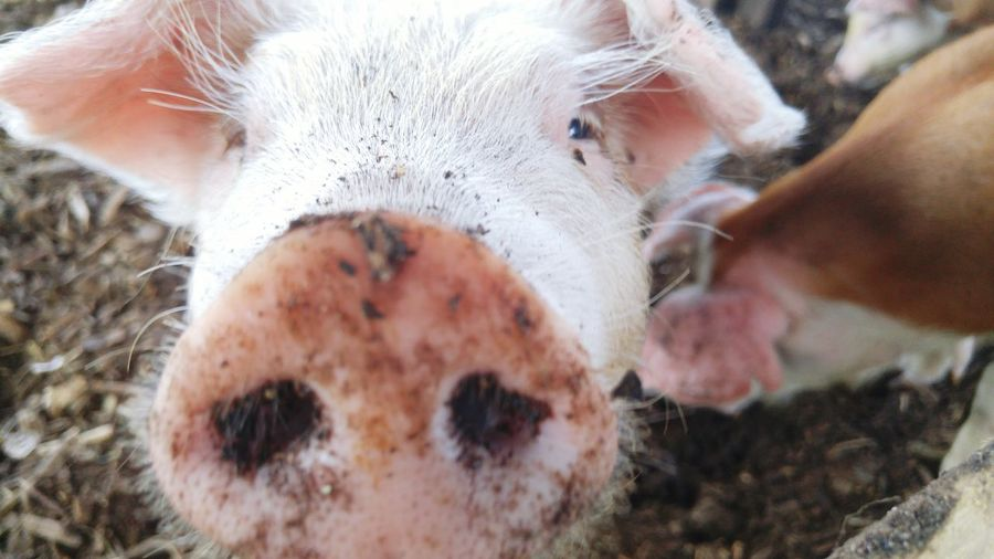 Close-Up Of Pig