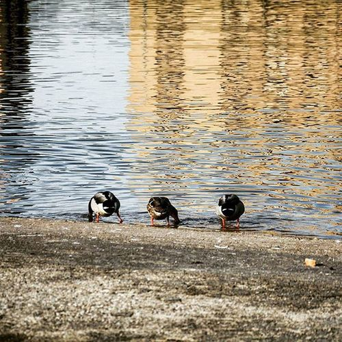 Duck Pato Animales Animals Pets Naturaleza Nature Fotografia Photography Love Happy Friends Tres Three Wheels River Sun