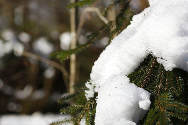Snow Schnee Sauerland Westfalen Südwestfalen Nordrheinwestfalen Wald Ast White Color Winter Snow Cold Temperature Nature Tree Close-up