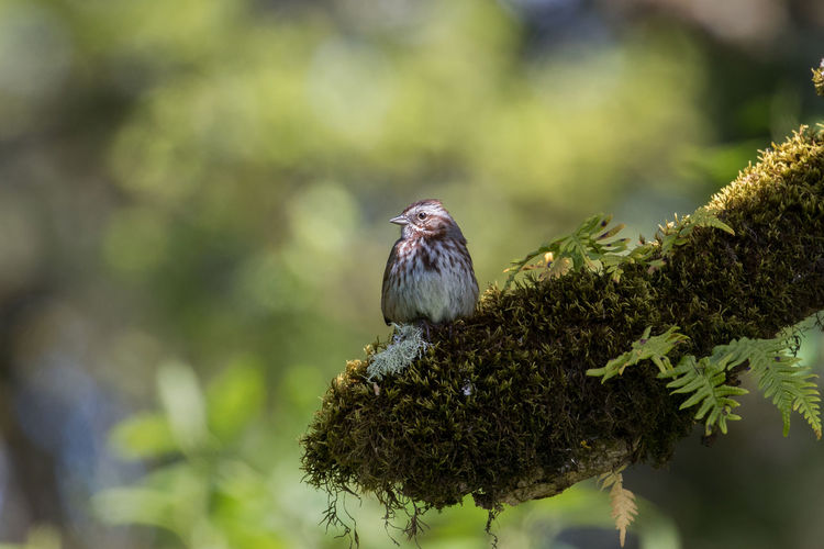 The way this Song Sparrow sat comfortably on the branch caught my eye, the light just grazing its face. Green Color Song Sparrow Animal Themes Animal Wildlife Animals In The Wild Beauty In Nature Bird Close-up Day Focus On Foreground Nature No People One Animal Outdoors Perching Sparrow Tree