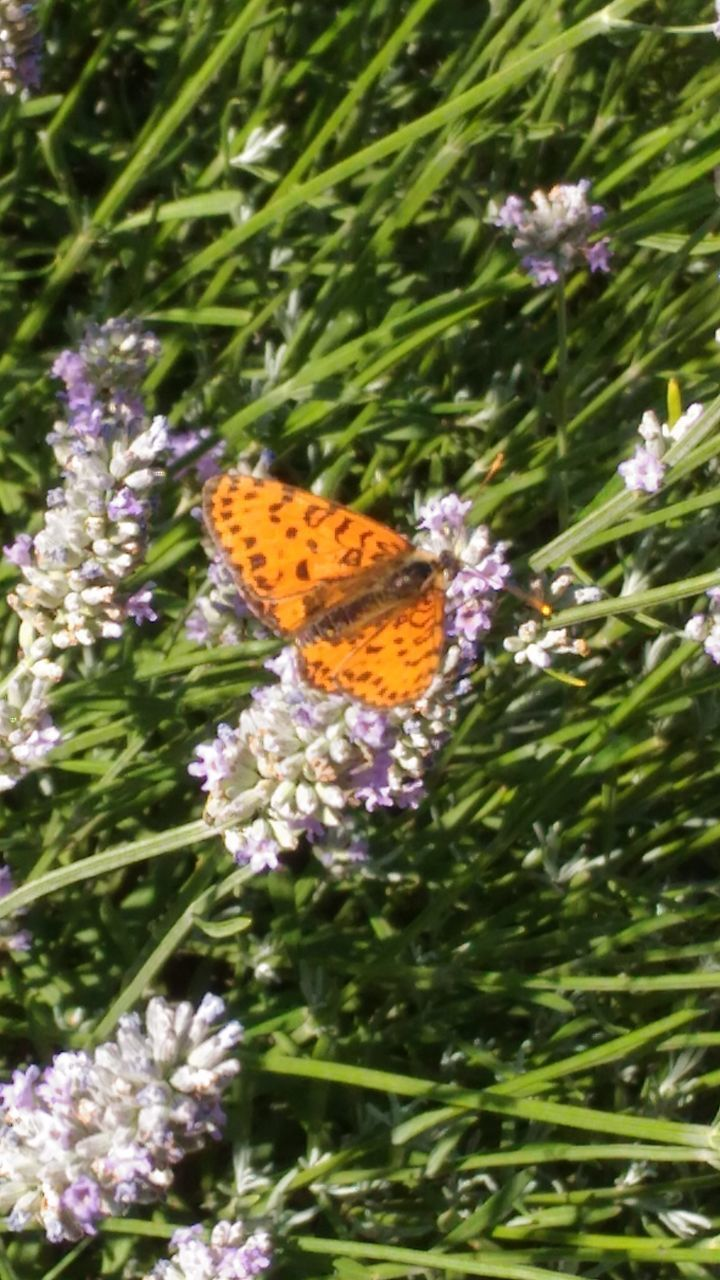 BUTTERFLY POLLINATING ON PURPLE FLOWERING PLANT