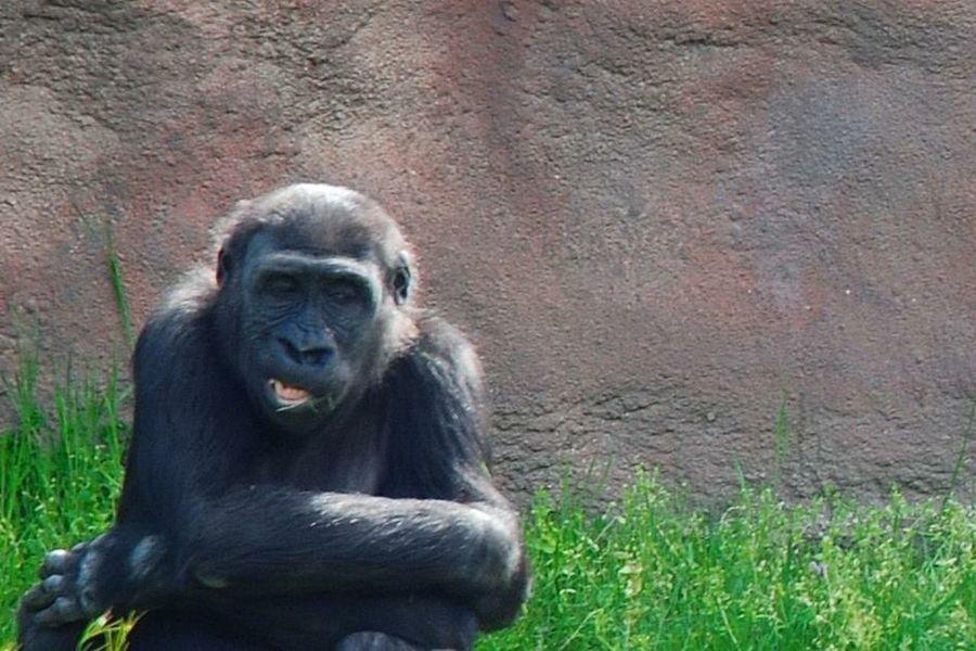 Animals Hello World Gorila