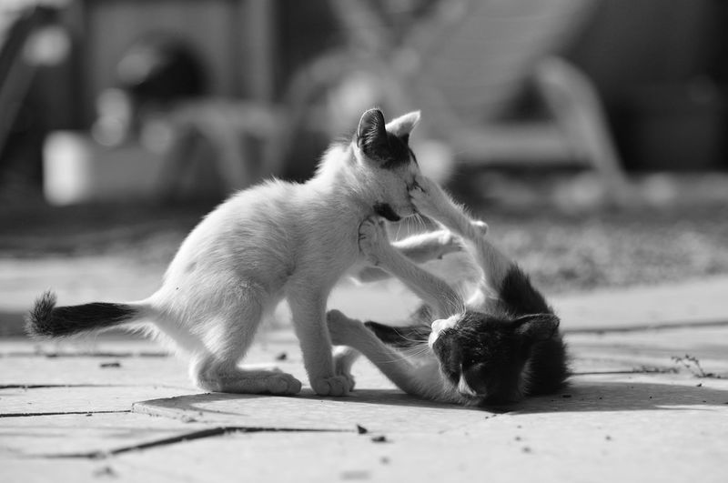Cats fighting on road