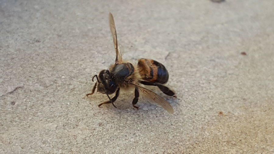 Animal Themes Insect Animals In The Wild One Animal Close-up Animal Wildlife Nature No People Day Outdoors Bee Little Bee Honey Honey Bee HoneyBee Bee 🐝 Bees And Flowers