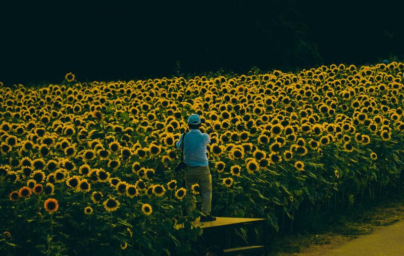 Rear view of man standing in sunflower field