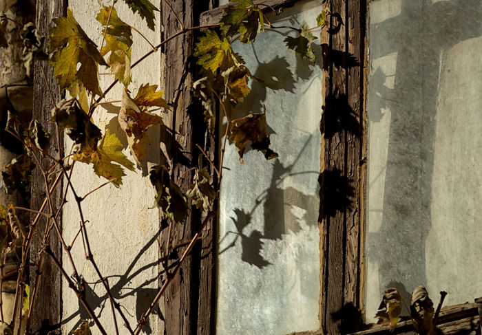 Window Reflections Architecture Day Dried Leaves Framed Framing Leaf Light Light And Shadow Nature Outdoors Plant Reflections Sun Twigs Twigs And Branches Vine Window Covering Window View Wood - Material