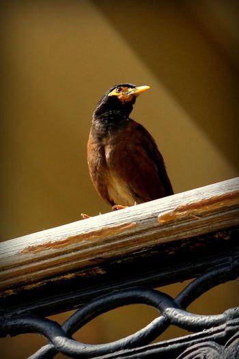 Beautiful Bird Beautiful Nature Beauty In Nature Bird Bird Photography Indian Myna Myna Mynah Mynahbird Outdoors Perching