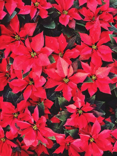 Christmas Flower Full Frame Christmas Around The World Christmas Time