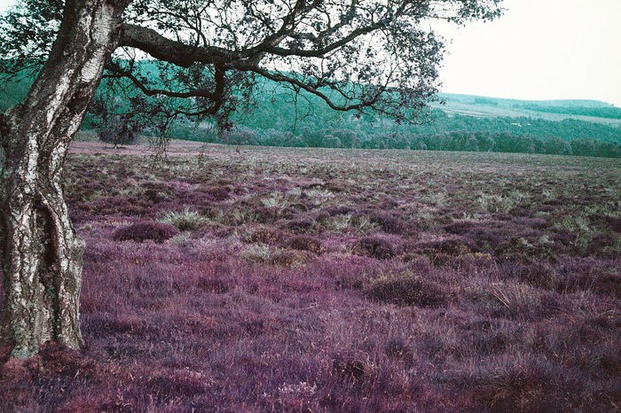 Purple Pink Landscape countryside Tree trees Derbyshire England Countryside England Olympus Trip 35