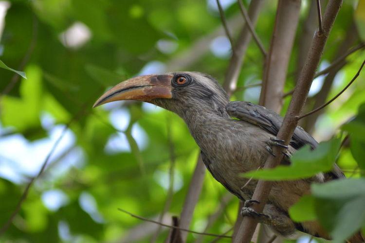 Grey Hornbill First Eyeem Photo