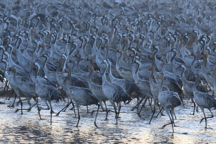 Cranes walking in lake
