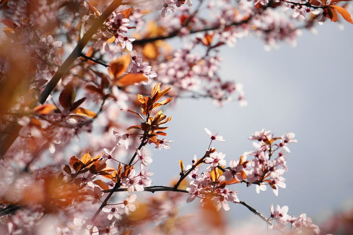 spring and pink flowers Beauty In Nature Blossom Branch Change Cherry Blossom Cherry Tree Close-up Day Flower Flower Head Flowering Plant Fragility Freshness Growth Nature No People Outdoors Plant Selective Focus Sky Spring Springtime Tree Vianden Vulnerability