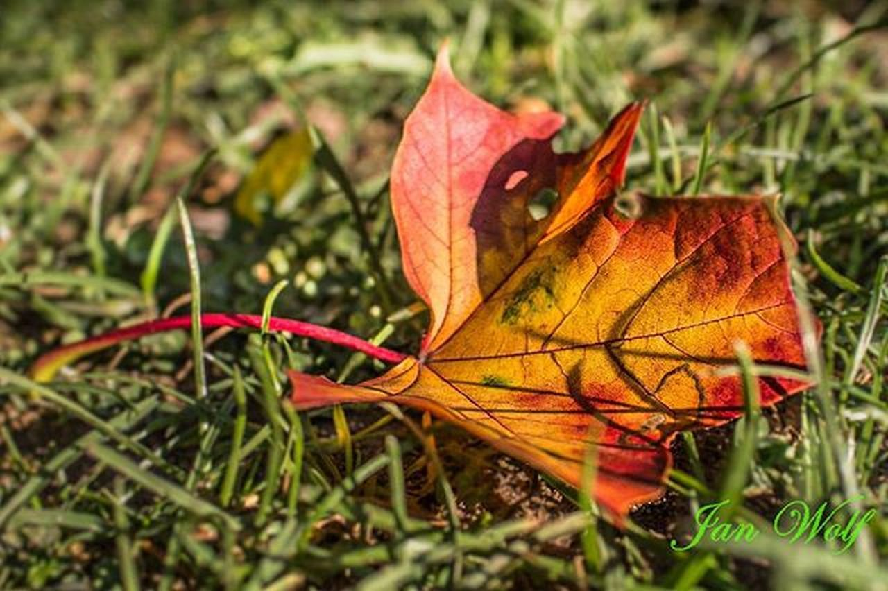 leaf, autumn, change, dry, grass, nature, orange color, field, day, green color, one animal, red, outdoors, beauty in nature, maple leaf, no people, close-up, animal themes, maple