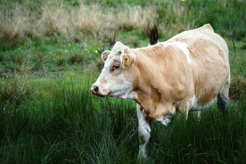 Cow walking on grassy field