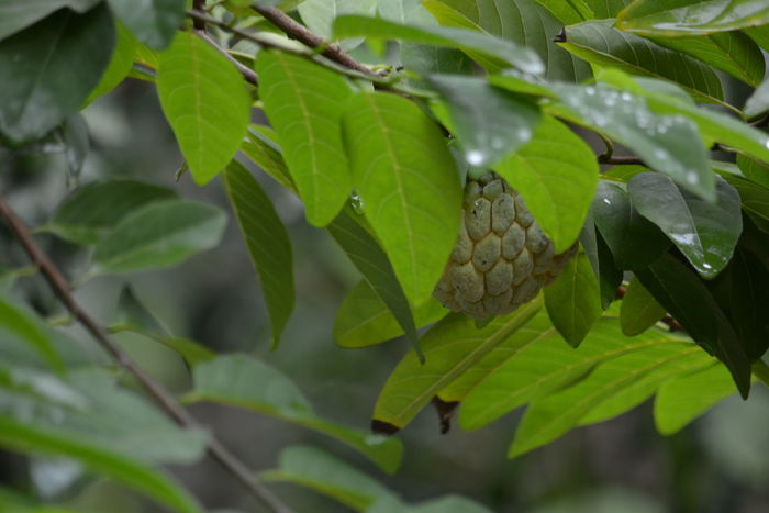 Custard apple - Close Up Custard Apple Farm Farm Life Beauty In Nature Butterfly - Insect Close-up Day Farmfresh Fresh Green Color Growth Invertebrate Leaf Leaves Nature No People Organic Organic Farming Organic Food Outdoors Plant Plant Part Selective Focus Tree Vertebrate