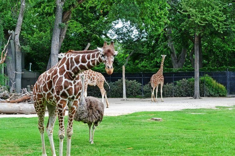 Giraffes standing on landscape against trees