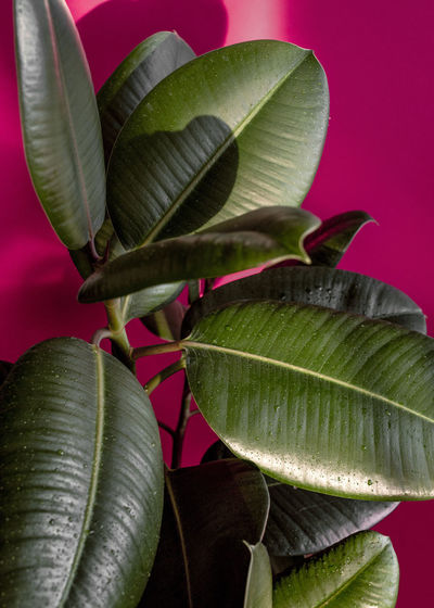 Sunrise Green Color Growth Plant Part Beauty In Nature Close-up Colored Background Domestic Plant Freshness Garden Green Color Growth Home Plant Leaf Leaves Nature Plant Plant Part Red Rubbertree Studio Shot Sun Light Sunrise Vulnerability