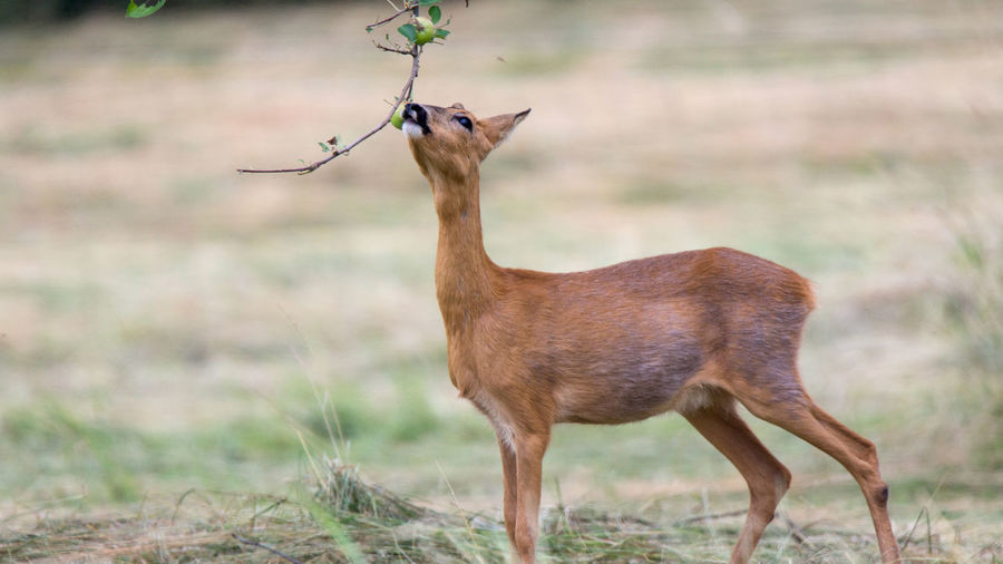 Roe Deer grazing Apple Tree Roe Deers Roe Deer Reh Rehwild Haarwild Jagd Hunting Animal Themes Animal Animals In The Wild Animal Wildlife One Animal Vertebrate Standing Deer