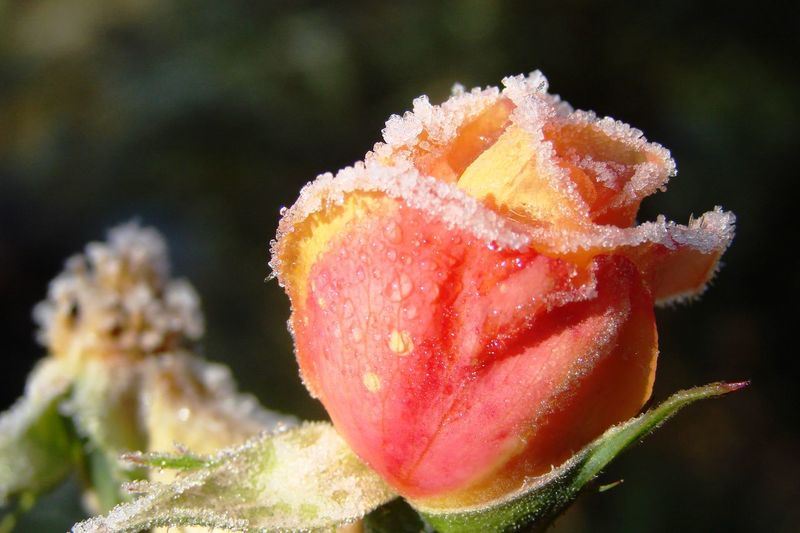 Eisblumen Frost Beauty In Nature Close-up Day Flower Flower Head Freshness Frosty Flower Growth Nature No People Outdoors