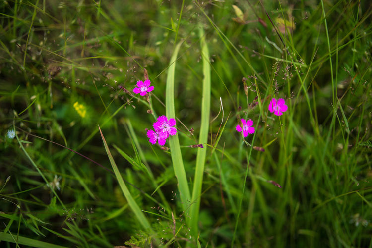 Carnation Field Grass Green Growth Meadow Flowers Nature Plant Plants Blooming Dianthus Flower Grassy Meadow Grasses Outdoors Pink Color Summer