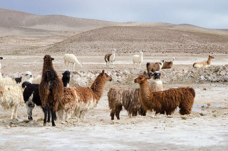 Alpacas in desert against sky