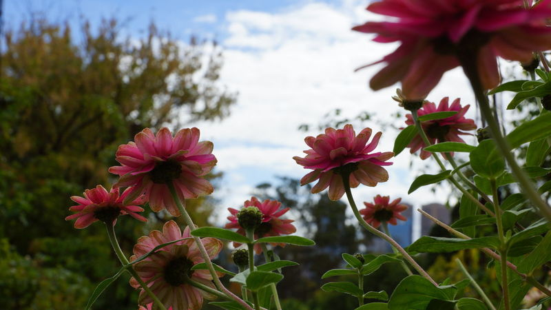 Botany Flower Head Focus On Foreground Melbourne Nature Pink Color Shyraphotography Spring