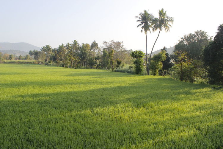 paddy field Paddy Close-up Paddy Field Coconut Trees Landscape Paddy Field Landscape Tree Grass Green Color Palm Tree Growth Nature Agriculture Beauty In Nature Field Outdoors No People Day Rice Paddy Freshness Sky