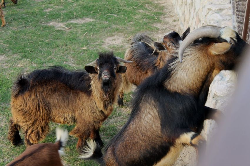 Animal Themes Mammal Animal Family Domestic Animals Togetherness Young Animal Field Grass Kid Goat Day No People Outdoors Nature