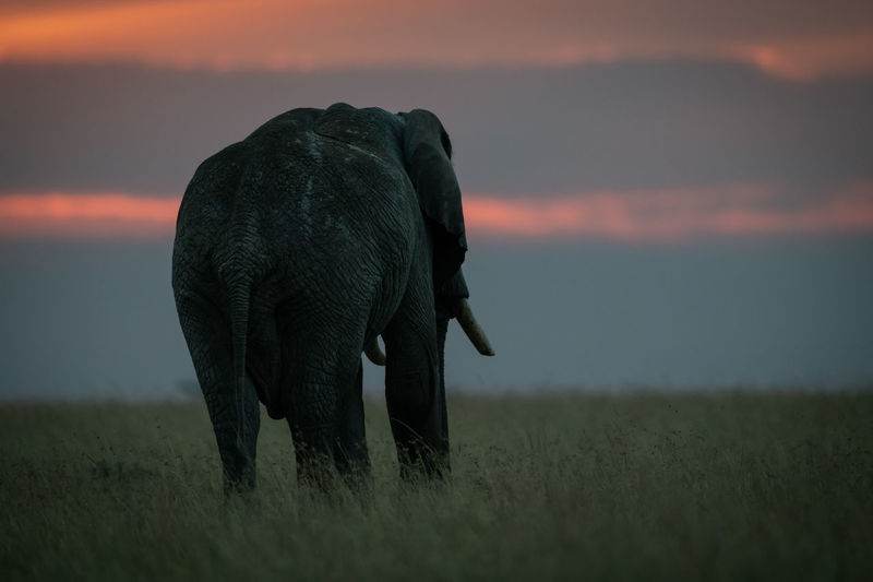 Silhouette elephant standing on field against cloudy sky during sunset