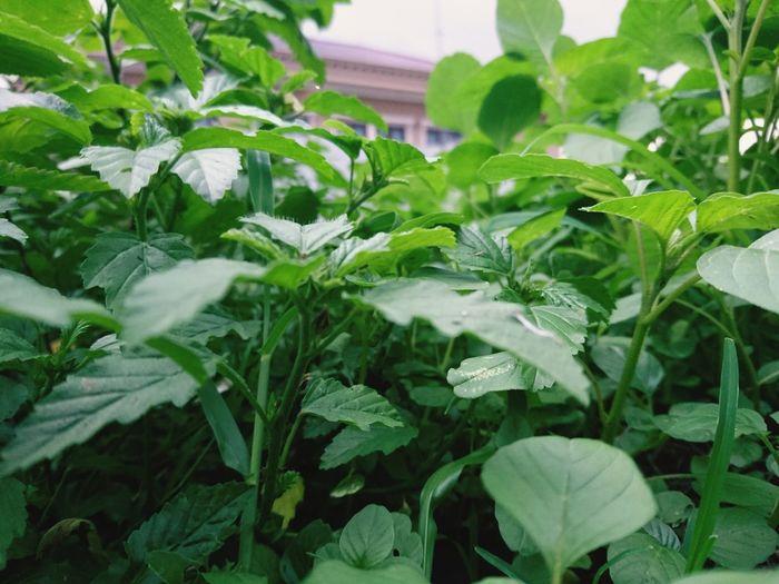 Greenhouse Leaf