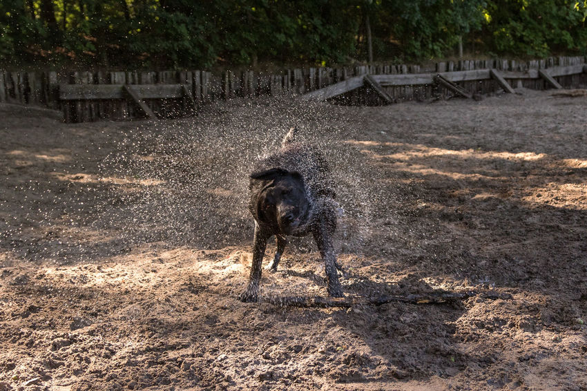 Animal Animal Themes Canine Day Dirt Dog Domestic Domestic Animals Full Length Land Mammal Motion Mud Nature No People One Animal Pets Sunlight Tree Vertebrate Walking