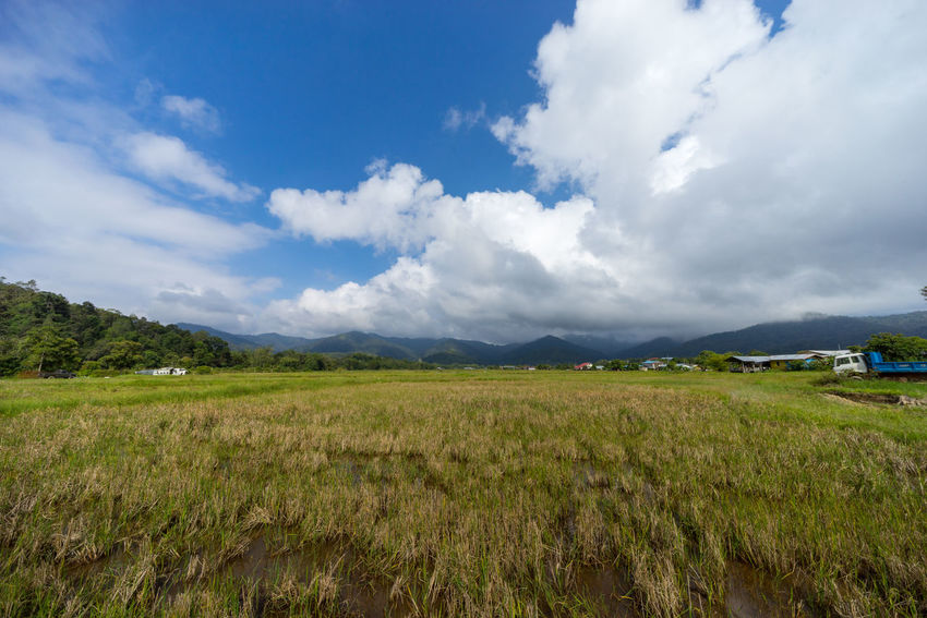 View of paddy field during harvest season in Bario, Sarawak - a well known place as one of the major organic rice supplier in Malaysia. BARIO Borneo Rice Rural Tourist Cereal Plant Clouds Day Food Highlands Malaysia Meadow Mountain Organic Paddy Field Sarawak Tourism Travel Destinations