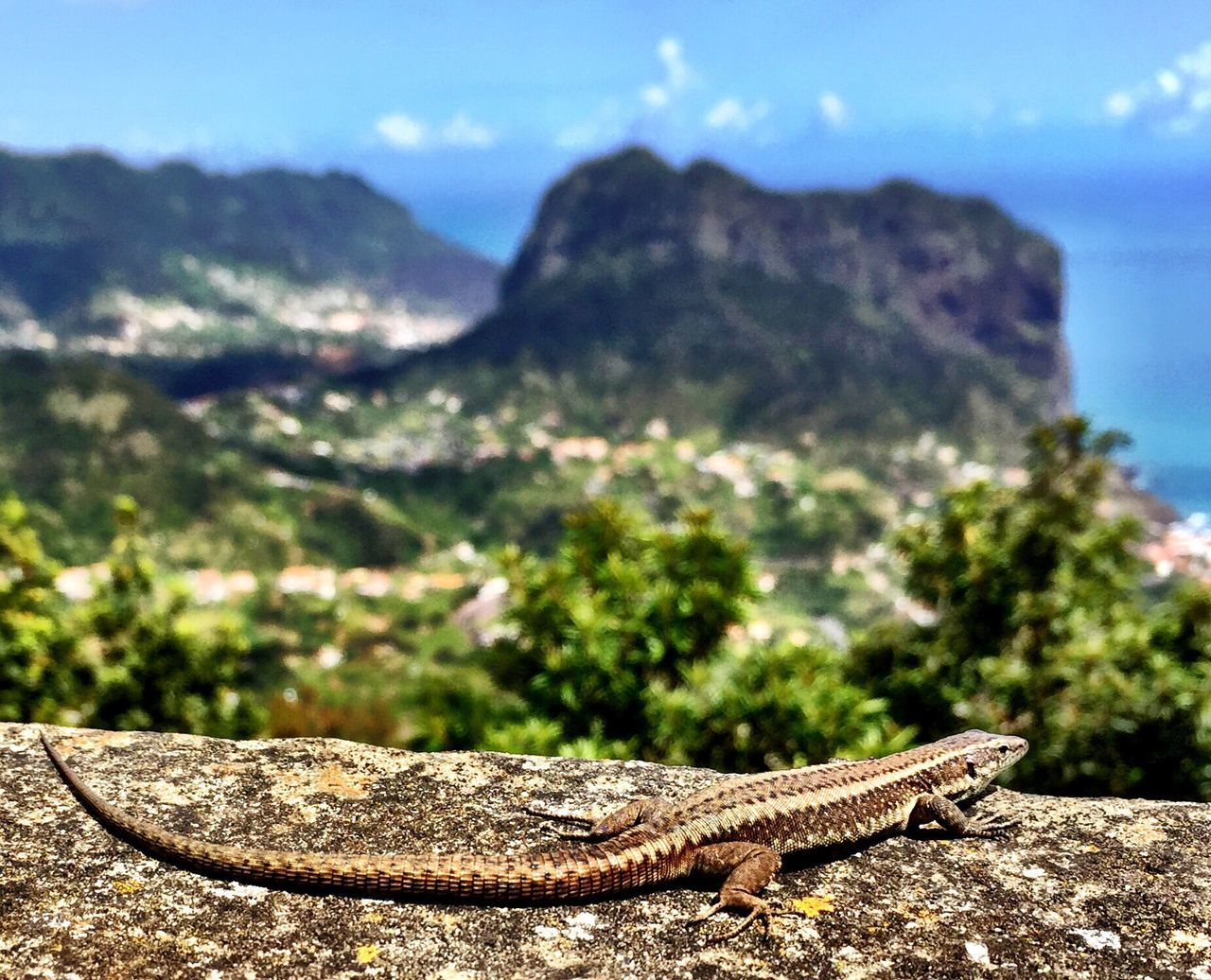 reptile, one animal, mountain, animal themes, animals in the wild, lizard, no people, outdoors, focus on foreground, nature, day, rock - object, bearded dragon, animal wildlife, close-up, beauty in nature