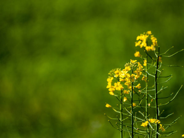 Brassica Napus Copy Space EyeEm Best Shots EyeEmNewHere Plant Wildflower Yellow Flower Allergy Backgrounds Beauty In Nature Blooming Blossom Botany Close-up Cruciferous Day First Eyeem Photo Flora Floral Floral Pattern Flower Flower Head Flowering Plant Focus On Foreground Fragility Freshness Green Color Growth Nature No People Outdoors Petal Plant Plant Stem Pollen Pollination Rapeseed Rapeseed Blossom Selective Focus Spring Springtime Vulnerability  Yellow