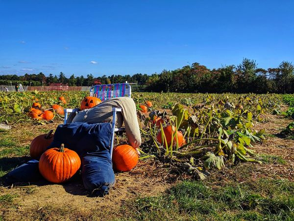 Fall Collection Nature Lover Just Shoot Pumpkin Patch Outdoors The Week On EyeEm EyeEm Nature Lover Leaves 🍁 Autumn StillLifePhotography Orange Colors Of Autumn New England In October Blue Sky Autumn Collection Agriculture Fall Photography
