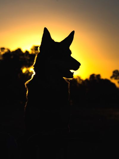 Our girl Isabel Kelpiesofaustralia Sheep Dog Working Dog Rural Photography Sky Domestic Cat Close-up