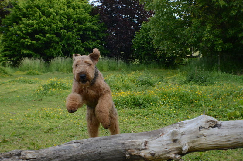Outdoor Photography Outdoors Jumping Over Tree Black And Tan Dog Airedale Airedaleterrier Tree Jumping For Joy Jumping Airedale Domestic Animals Field Flower Jumping Dog Beautiful Nature Agility