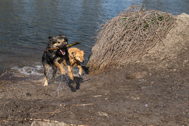 High angle view of dog running in water