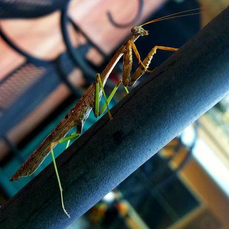 Close-up Selective Focus Beauty In Nature Mantis Differential Focus Bug Animal Focus Object Maximum Closeness