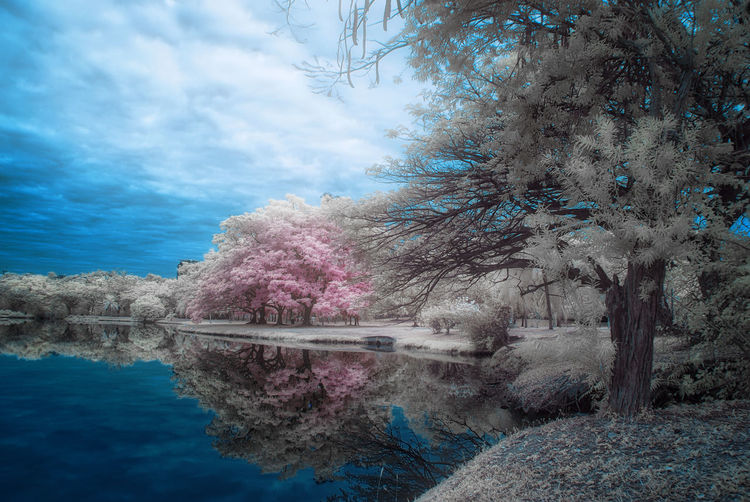 An infrared view of a lakeside with white foliage trees. Infrared White Foliage White Grass Beauty In Nature Branch Color Infrared Day Growth Infrared Photography Lake Nature No People Outdoors Pink Foliage Reflection Scenics Sky Softfocus Tranquil Scene Tranquility Tree Water