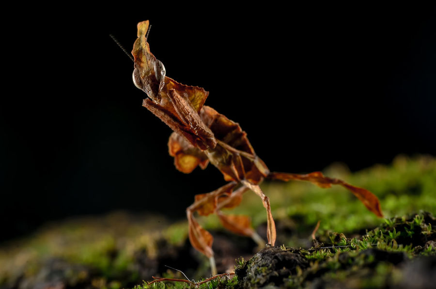 ghost mantis Animal Wildlife One Animal Animals In The Wild Insect Nature No People Animal Themes
