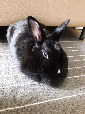 Rabbit ib black 🐰🐰🐰 Pets Domestic Animals Domestic Cat Animal Themes One Animal Mammal Black Color Indoors  Rug Lying Down Home Interior Feline No People Portrait Close-up Day